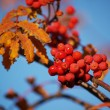 Branch with red rowan berries — Stock Photo