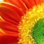 Gerber daisy flower — Stock Photo #23494039