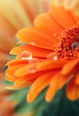 Gerber daisy flower — Stock Photo