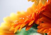 Gerber daisy flower — Stock Photo