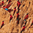 Dancing in the Air - Southern Carmine Bee-eater in flight — Stock Photo