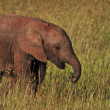 Baby Elephant Eating in the Grassland , Kenya . — Stock Photo