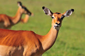 Grazing Impala (Aepyceros melampus) in the Masai Mara Savanha, Kenya — Stock Photo