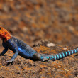 Stock Photo: Orange-headed Agama Sunbathing in Naivasha lake, Kenya