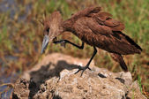 Hamerkop Bird Scratching it's Beak, Naivasha lake, Kenya — Stock Photo
