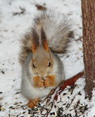 Squirrel sitting on the snow and eatting some food — Stock Photo