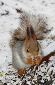 Squirrel sitting on the snow and eatting some food — Foto Stock