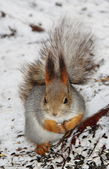 Squirrel sitting on the snow — Stock fotografie