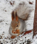 Squirrel sitting on the snow and eatting some food — Stockfoto