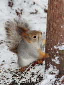 Squirrel looking up — Stockfoto
