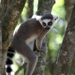 Lemur monkey sitting in a tree — 图库照片