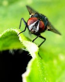 Staring fly — Stock Photo