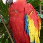 Scarlet Macaw — Stock Photo #25210765