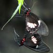 Doris Longwing Butterfly - Stock Photo