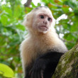 White-faced capuchin monkey in Costa Rica — Stock Photo