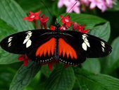 Doris Longwing Butterfly — Foto de Stock
