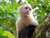 White-faced capuchin monkey in Costa Rica — Stock Photo