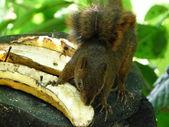 Ardilla comiendo un plátano en selva — Foto de Stock