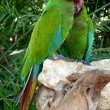 Colorful green macaw — Stock Photo