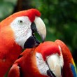 Colorful scarlet macaw — Stock Photo