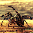 Garden Spider — Stock Photo