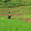 Mhong woman in rice field — Stock Photo