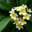 Stock Photo: Beautiful Frangipani Flower