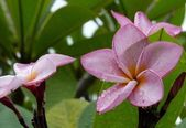 Beautiful Frangipani Flower — Стоковое фото