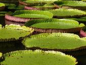 Sir seewoosagur ramgoolam botanical garden — Foto Stock