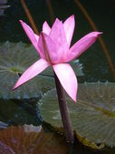 Sir Seewoosagur Ramgoolam Botanical Garden — Stock Photo