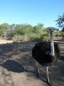 Ostrich On Safari Road — ストック写真