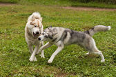 Huskies play — Stock Photo