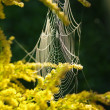 Spider web on a branch of mimosa — Stock Photo #36404307