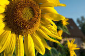 Sunflower in front of a country house — Stock Photo