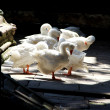 Thirteen white geese in Santa Eulalia cathedral in Barcelona — Stock Photo