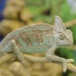 Chameleon — Stock Photo #25214489