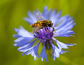 Hoverfly sitting on the cornflower. Macro — Stock Photo