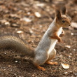 A curious squirrel standing on hind legs — Stock Photo