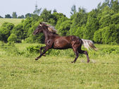 Brown horse riding across the field — Stockfoto