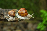 Two snails in a forest — Stock Photo