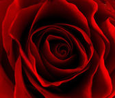 Closeup background of red roses — Stock Photo