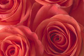 Closeup background of pink roses — Stockfoto