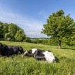 Stock Photo: Cows in meadow with grass and tree