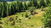 Otlatma ve bir dağ çayır yalan sığır — Stok fotoğraf