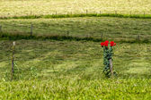 Lonely red flowers in meadow — Stock Photo