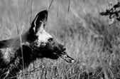 African Wild Dog with a Toy — Stock Photo