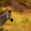 Portait of a Zebra — Stock Photo
