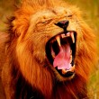 Big Male Lion Yawning — Stock Photo