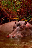 Hippo in the Water — Foto de Stock