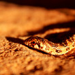 Juvenile Mole Snake — Stock Photo